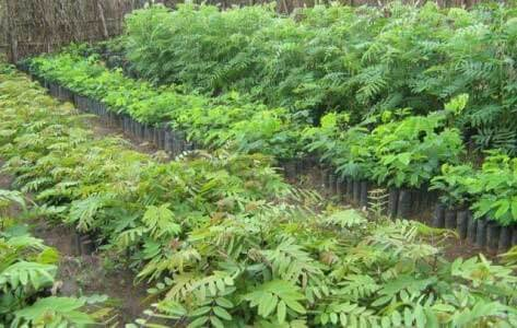 Plantation Tephrosia Vogelii